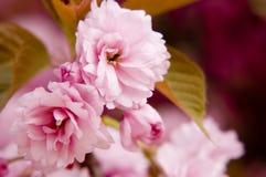 Feche acima das flores de sakura imagem de stock