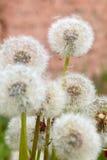 Flores do dente-de-leão Fotos de Stock Royalty Free