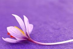 Feche acima das flores do açafrão Fotos de Stock Royalty Free