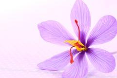 Feche acima das flores do açafrão Imagens de Stock