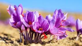 Feche acima das flores do açafrão em um campo no outono Imagens de Stock Royalty Free
