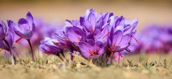 Feche acima das flores do açafrão em um campo no outono Foto de Stock Royalty Free