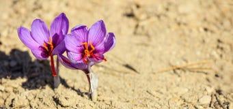 Feche acima das flores do açafrão em um campo no outono Imagens de Stock