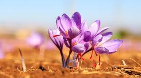 Feche acima das flores do açafrão em um campo no outono Fotografia de Stock