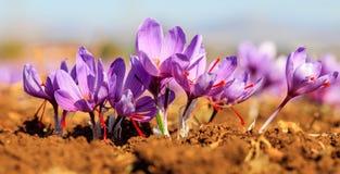 Feche acima das flores do açafrão em um campo no outono Fotos de Stock Royalty Free