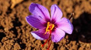 Feche acima das flores do açafrão em um campo no outono Imagem de Stock
