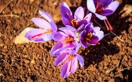 Feche acima das flores do açafrão em um campo no outono Fotografia de Stock Royalty Free