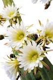 Feche acima das flores do cacto Imagem de Stock
