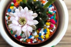 Feche acima das flores do cacto do Gymnocalycium em uns potenciômetros bonitos de uma planta na vista superior Fotos de Stock Royalty Free