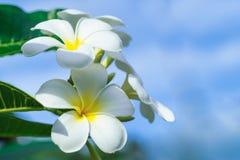 Feche acima das flores do frangipani do plumeria com folhas, Fotografia de Stock Royalty Free
