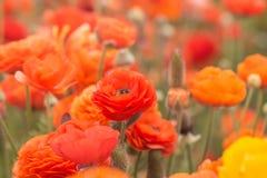 Feche acima das flores do ranúnculo em um campo fotografia de stock royalty free