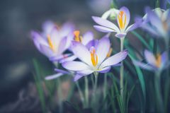 Feche acima das flores dos açafrões, exterior imagens de stock royalty free