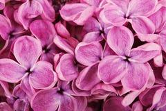 Feche acima das flores lilás roxas Foto de Stock Royalty Free