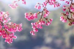 Feche acima das flores ou da flor de cerejeira cor-de-rosa de Sakura que florescem na árvore fotos de stock
