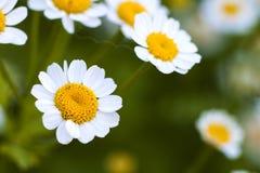 Feche acima das flores pequenas da margarida branca Fotos de Stock