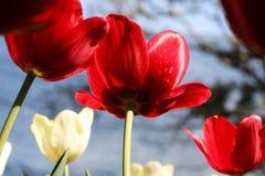 Feche acima das flores vermelhas da tulipa Fotografia de Stock Royalty Free