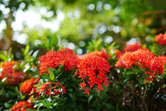 Feche acima das flores vermelhas do Rubiaceae, flor de Ixora, ponto vermelho da flor em um fundo borrado verde do bokeh Imagem de Stock