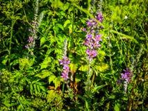 Feche acima das flores violetas, flora mediterrânea imagem de stock