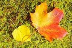 Feche acima das folhas coloridas no musgo verde fotografia de stock