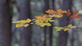 Feche acima das folhas da faia no tempo do outono vídeos de arquivo