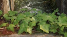 Feche acima das folhas da hera com água que flui no fundo vídeos de arquivo
