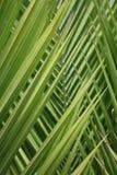 Feche acima das folhas da palmeira - fundo Imagens de Stock Royalty Free