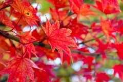 Feche acima das folhas de bordo vermelhas no ramo das árvores durante a estação do outono imagens de stock royalty free