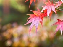 Feche acima das folhas de bordo vermelhas no ramo das árvores durante a estação do outono em Japão foto de stock