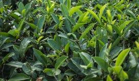 Feche acima das folhas de chá verdes no jardim na plantação Foto de Stock