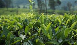 Feche acima das folhas de chá verdes no jardim na plantação Fotos de Stock
