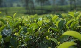 Feche acima das folhas de chá verdes no jardim na plantação Foto de Stock Royalty Free