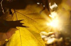 Feche acima das folhas de outono textura e das raias do sol Fotografia de Stock