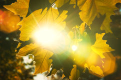 Feche acima das folhas de outono textura e das raias do sol Imagens de Stock Royalty Free