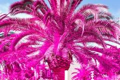 Feche acima das folhas de palmeira tropicais roxas Cor incomum Fotografia de Stock