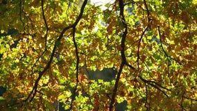 Feche acima das folhas do carvalho video estoque