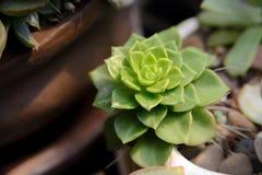 Feche acima das folhas do echeveria, cacto Imagem de Stock