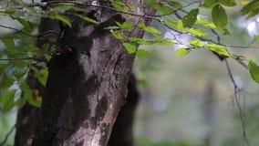 Feche acima das folhas do hornbeam no tempo do outono filme