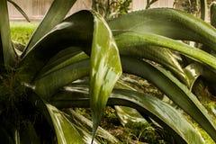 Feche acima das folhas gigantes de uma planta estranha de vera do aloés sob a chuva imagem de stock royalty free