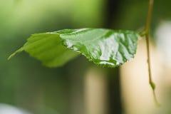 Feche acima das folhas molhadas do Linden após a chuva Foto de Stock Royalty Free