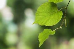 Feche acima das folhas molhadas do Linden após a chuva Foto de Stock