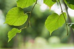 Feche acima das folhas molhadas do Linden após a chuva Fotografia de Stock