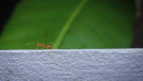 Feche acima das formigas andam em Grey Wall video estoque