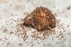 Feche acima das formigas de fogo importadas vermelho Imagem de Stock