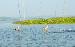 Feche acima das gaivotas ou as aves migratórias das gaivota, um pássaro de água do tamanho médio, mancharam o voo no pantanal dos fotos de stock