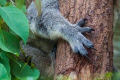 Feche acima das garras da coala imagem de stock royalty free