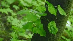 Feche acima das gotas da água no fundo verde fresco das folhas vídeos de arquivo