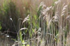 Feche acima das gramas que balançam na brisa Fotos de Stock Royalty Free