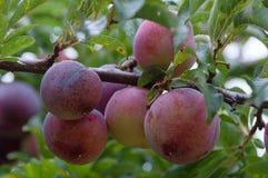 Feche acima das grandes ameixas maduras de outubro cercadas pelas folhas verdes na árvore de ameixa imagem de stock