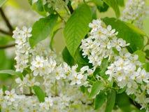 Feche acima das inflorescência de florescência da pássaro-cereja fotos de stock
