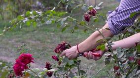 Feche acima das mãos que podam rosas vermelhas com tesouras Tiro do movimento lento vídeos de arquivo